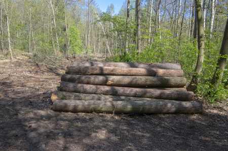 Cutting of the trees, bark beetle calamity, conifer tree logs on pile in woodland, environmental issues, sunny day