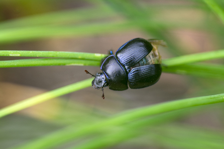 Anoplotrupes stercorosus beautiful small dor beatle, blue black body color, bright metalic blue, green grass leaves