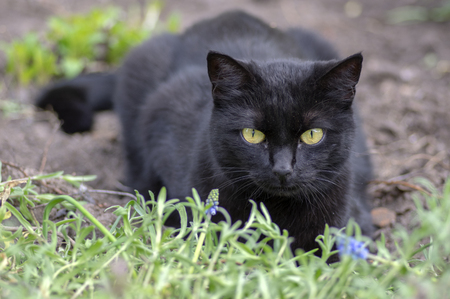 Black cat lie in wait in the garden, dark beast with light green eyes, beautiful animal, waiting for the hunt, eye contact