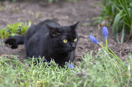 Black cat lie in wait in the garden, dark beast with light green eyes, beautiful animal, waiting for the hunt