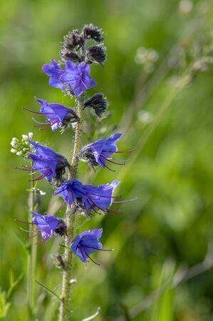 Echium vulgare wild flowering plant, group of blue flowers in bloom on one green stem