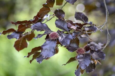 Fagus sylvatica purpurea tree branches, beautiful ornamental beech tree, copper beech with purple leaves, early summer season