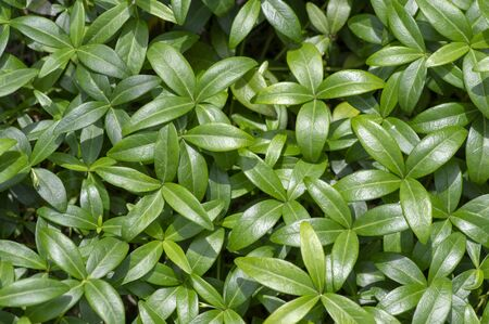 Periwinkle minor green leaves, small creeping ground covering plant in daylight during summer season, background texture