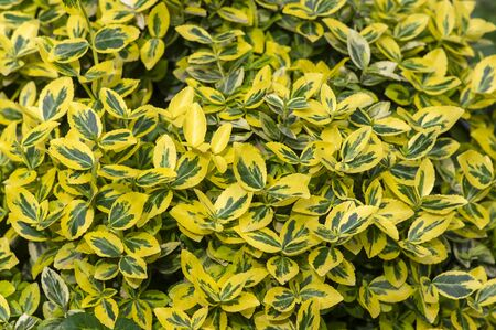Euonymus fortunei emeralnd n gold cultivar leaves, yellow and green leaf, ornamental branches, background textures