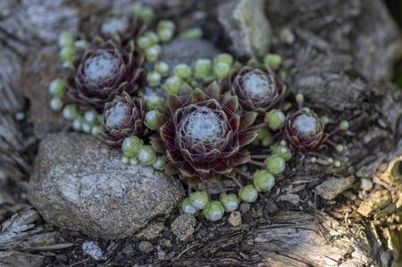 Sempervivum arachnoideum succulent perennial plant, cobweb house-leek with typical spider webs, purple rosette and green small rosettes Standard-Bild