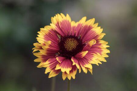Gaillardia aristata red yellow flower in bloom, common blanketflower flowering plant, single flower