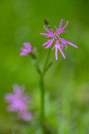 Lychnis flos-cuculi pink wild meadows flowers in bloom, beautiful summer flowering plant, detail macro view