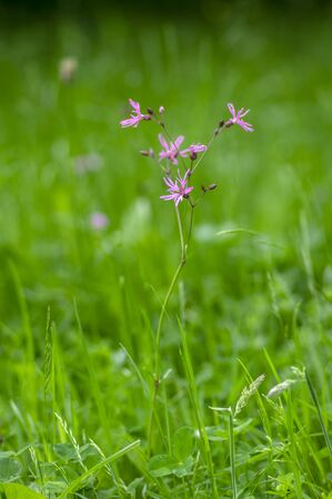 Lychnis flos-cuculi pink wild meadows flowers in bloom, beautiful summer flowering plant, green grassland on background