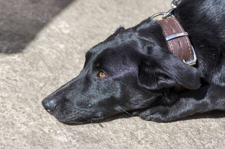 Black dog with collar on leash, shiny hair in daylight, baby dog