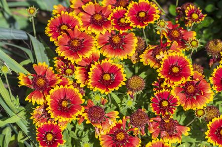 Gaillardia aristata red yellow flower in bloom, common blanketflower flowering plant, group of beautiful wild flowers, flower background 免版税图像