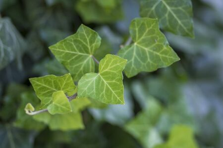 Hedera helix detail of green leaves, poison ivy evergreen plant, green foliage on branches, ground cover plant Stock fotó