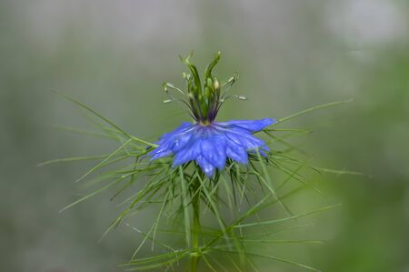 Nigella damascena early summer flowering plant with different shades of blue flowers on small green shrub, ornamental garden, single one flower on green background