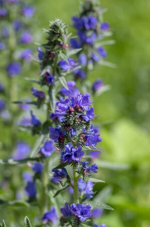 Echium vulgare wild flowering plant, group of blue flowers in bloom on one stem, knapweed plants Stock Photo