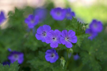 Cranesbills Geranium Rozanne group wild blue violet flowering plant of flowers, beautiful park flowers in bloom, green leaves Zdjęcie Seryjne