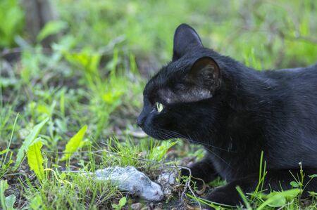 Proud black cat hunter, dead mouse in the grass, happy dark beast in nature Standard-Bild