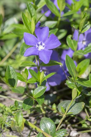 Vinca minor lesser periwinkle ornamental flowers in bloom, common periwinkle flowering plant, creeping blue flowers green leaves Foto de archivo