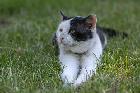 Old dirty black and white cat with collar lying in the grass, lazy relaxing beast