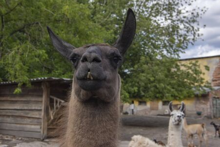 Funny lama glama portrait, dark brown hairy animal, funny face expression, outdoors and daylight, sunny day and farm animal, white lama on background, eye contact