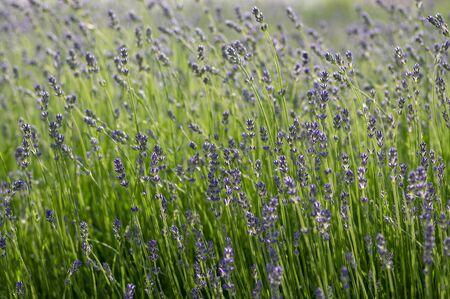 Lavandula angustifolia bunch of flowers in bloom, purple scented flowering plant, field of flowers Standard-Bild