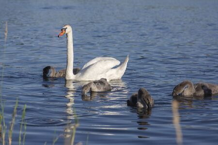 Group of swans on blue lake, largest waterfowl family, white adult, gray little swan animals, water reflections