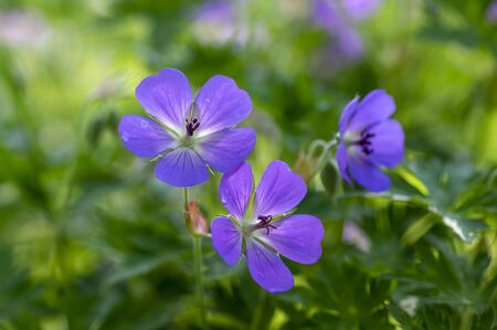 Cranesbills Geranium Rozanne group wild blue violet flowering plant of flowers, beautiful park flowers in bloom, green leaves Banco de Imagens