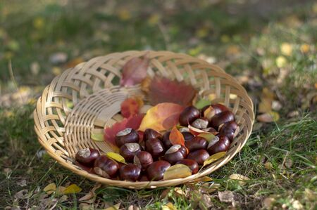 Group of fresh chestnuts on shallow wicker basket with dry colorful autumn leaves in green grass, nuts one by one spread on light brown dish