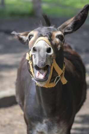 Funny donkey animal portrait, screaming funny face with open mouth, one brown farm animal
