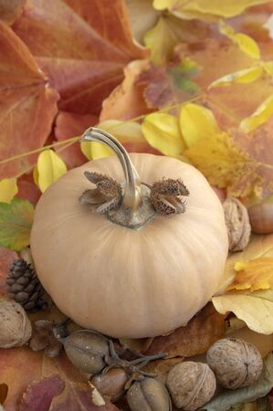 Autumn pumpkin on colorful fall leaves background, ripened muscat squash, light beige orange yellow ripened fruit, walnuts and beechnuts 写真素材