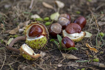 Aesculus hippocastanum, brown horse chestnuts, conker tree ripened fruits on the ground in the grass