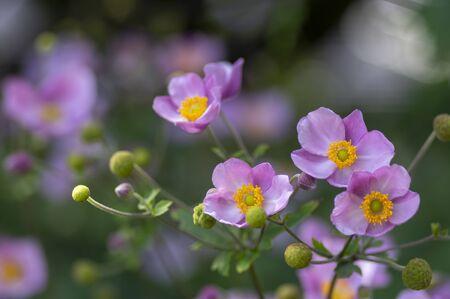 Anemone hupehensis japonica in bloom, beautiful pink flowering park ornamental plant, buds and green leaves 写真素材