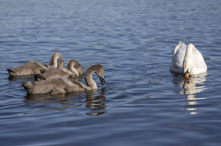 Group of swans on blue lake, largest waterfowl family, white adult, gray little swan animals, water reflections, teacher and pupils