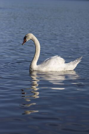 Single swan on blue lake, largest waterfowl birds, white adult animal, water reflections 写真素材