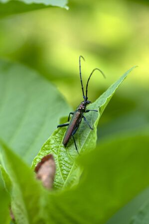 Aromia moschata longhorn beetle posing on green leaves, big musk beetle with long antennae and beautiful greenish metallic body, beautiful sommer natural scene