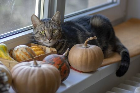 Mysterious domestic dark marble cat with its pumpkins wealth on the window looking out for Halloween time, autumnal scene 写真素材