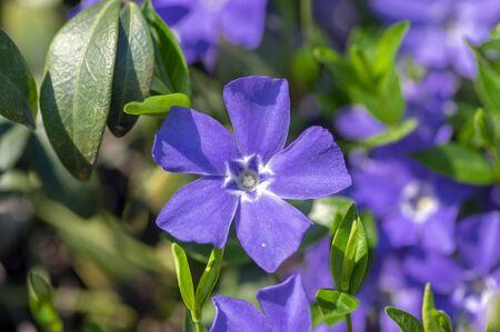 Vinca minor lesser periwinkle ornamental flowers in bloom, common periwinkle flowering plant, creeping blue flowers green leaves 写真素材