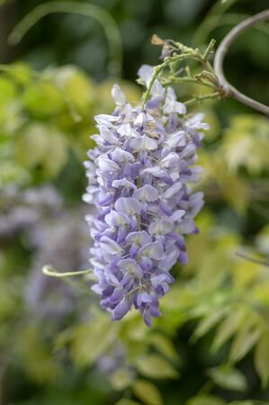 Detail of Wisteria floribunda flowers grapes in bloom, early summer violet purple flowering tree, beautiful ornamental plant
