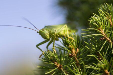 Tettigonia viridissima female sitting on the needles branches, great green bush-cricket beautiful animal posing in daylight, macro detail view