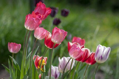 Fresh flowering tulips in springtime garden, beautiful early tulipa gesneriana flowers in bloom, various colors, bunch of romantic flowers