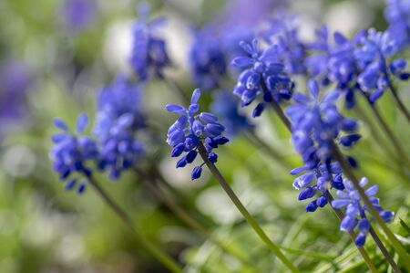 Muscari armeniacum flowering plant, blue spring bulbous grape hyacinth flowers in bloom in the garden, green foliage