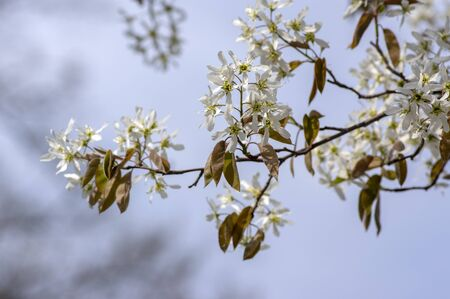 Amelanchier lamarckii deciduous flowering shrub, group of white flowers and leaves on branches in bloom, snowy mespilus plant cultivar