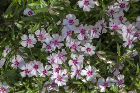 Creeping moss phlox subulata flowering small plant, beautiful flowers carpet of mountain phlox flowers in bloom, ground covering perennials with purple white petas on green background Stock fotó - 140625119