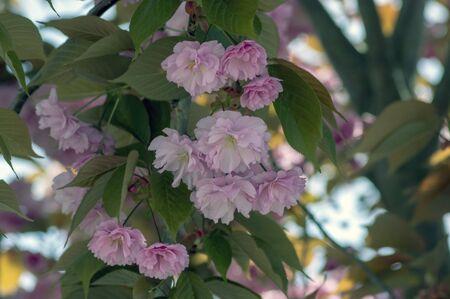 Prunus serrulata Japanese cherry tree double flower cultivation called sakura or taihaku in bloom, flowering oriental cherry with light pink flowers