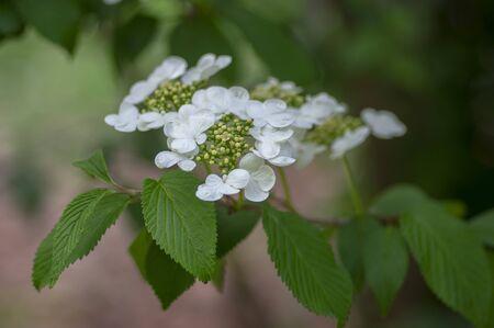 Viburnum plicatum flowering spring white flowers, beautiful ornamental Japanese snowball shrub in bloom, green leaves on branches Stock fotó