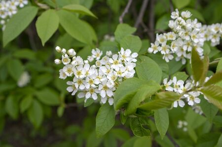 Prunus padus white flowering bird cherry hackberry tree, hagberry mayday tree in bloom, ornamental park flowers on branches and red green leaves