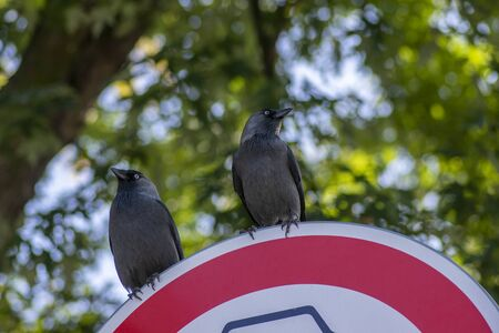 Western jackdaw Coloeus corvus monedula sitting on red road sign, two blue eyed birds on green background Stock fotó - 140496044