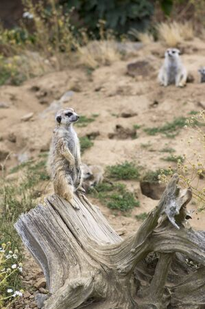 Beautiful meerkat holding a guard in sandy area, funny small african animal on wooden stump