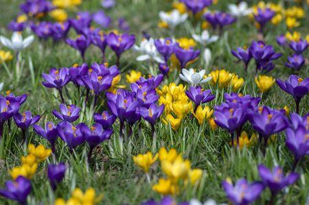 Field of flowering crocus vernus plants, group of bright colorful early spring flowers in bloom, beautiful ornamental springtime garden