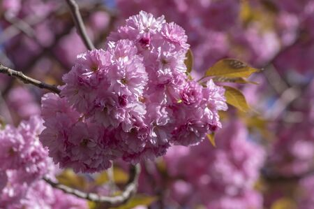 Prunus serrulata Japanese cherry tree double flower cultivation called sakura or taihaku in bloom, flowering oriental cherry with light pink flowers Stock fotó - 140440827