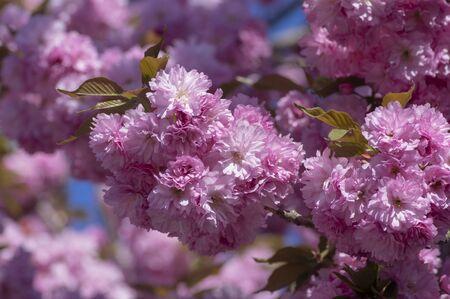 Prunus serrulata Japanese cherry tree double flower cultivation called sakura or taihaku in bloom, flowering oriental cherry with light pink flowers Stock fotó - 140440829