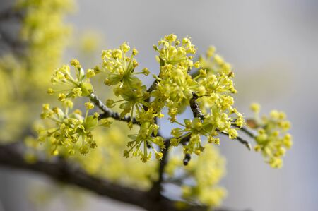 Cornus mas european cornel tree branches during early springtime in bloom, Cornelian cherry dogwood flowering with bright yellow flowers in sunlight Stock Photo